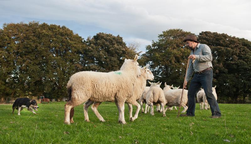 Irish Working Sheepdogs